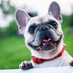 french-bulldog-summer-smile-joy-160846