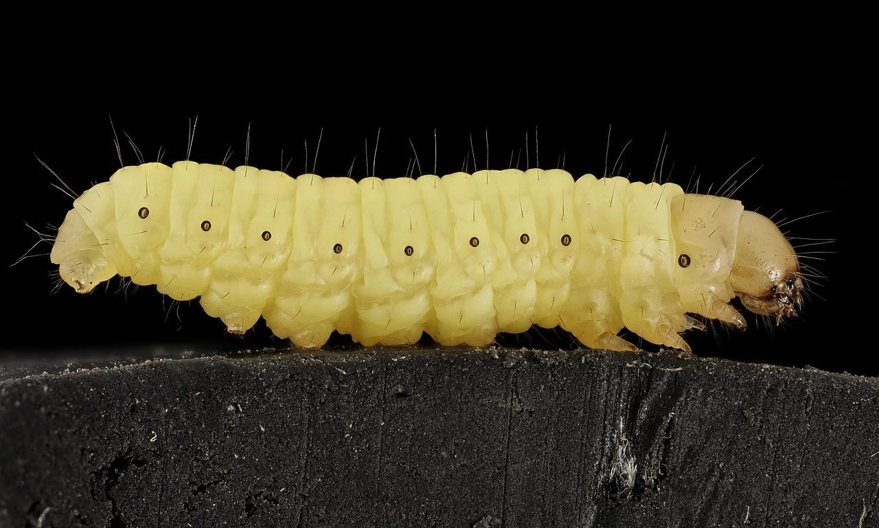 wax-worm-911591_1280